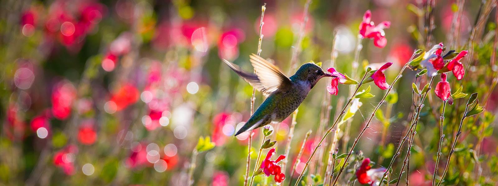 Hummingbird at EcoTerra's pollinator garden